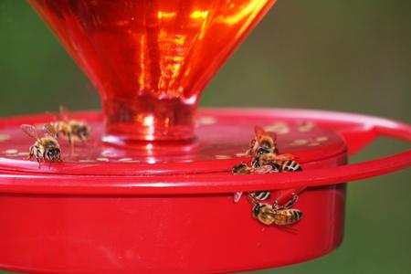 stingers: Honeybees drink from a Hummingbird Feeder. Stock Photo