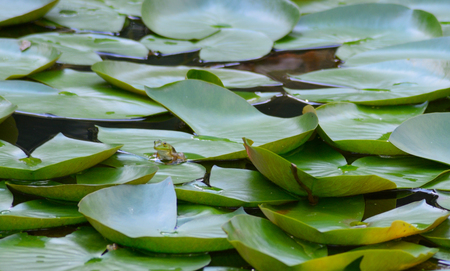 Little green frog sits among lily pads. Stock Photo