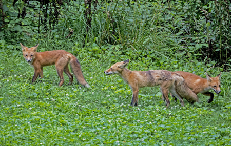 Red Fox Family playing together in green grass. Stock Photo