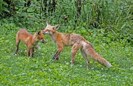 Red Fox Mother washes her young. Stock Photo