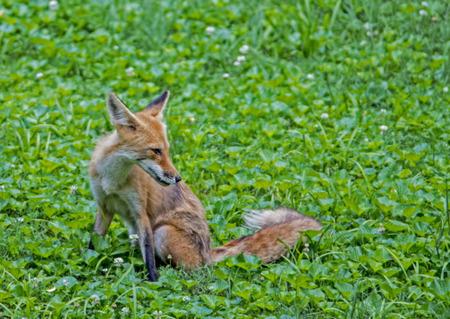 Single Red Fox sitting in green grass.