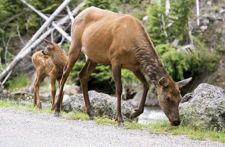 mule deer: Mother and baby Mule Deer in summer.