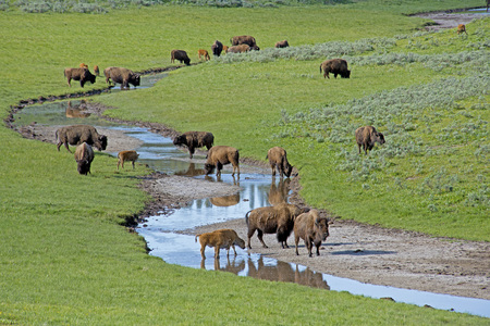 Herd of Bison in green grass drinking from a small branch.