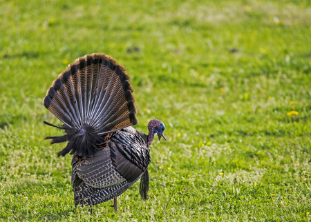 A wild turkey displaying his feathers in a field of green.