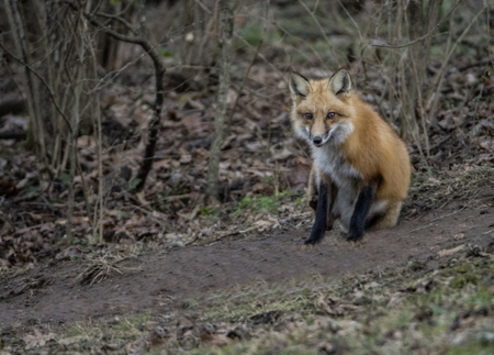 A little Red Fox sits watching for anything edible.