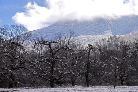 An Apple orchard beneath a snow covered mountain.