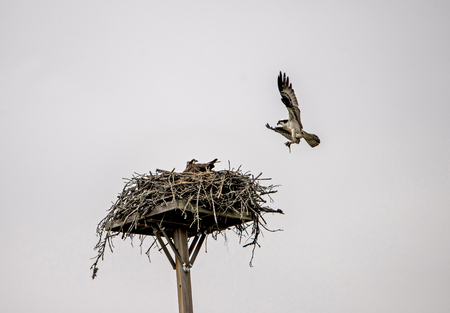 An Osprey brings in food to his mate on the nest.