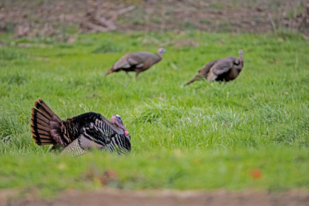 A tom turkey tries to impress two female turkeys.