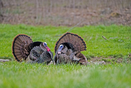 Two wild turkeys face each other with feathers displayed. Stock Photo