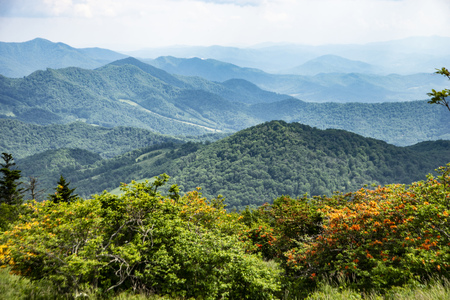 Flame Azalea blühen im Sommer auf dem Roan Mountain.
