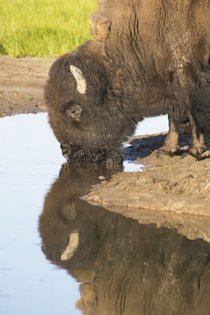 Head shot of a Bison drinking water. Stock Photo