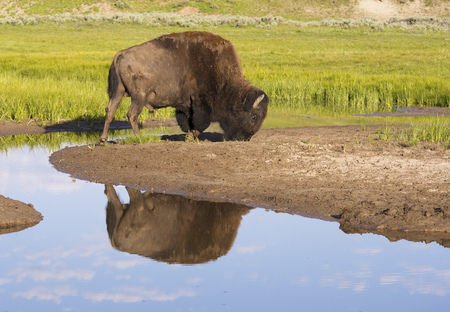 A large Bison feeds near a clear blue pond. Stok Fotoğraf