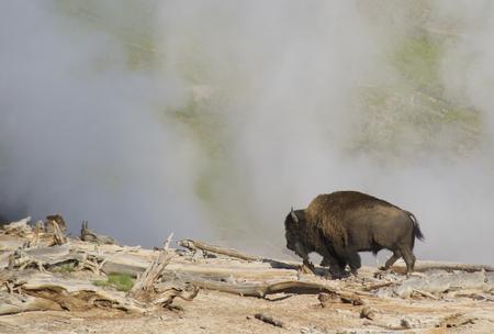 A Bison walks by a steam geyser in Yellowstone.