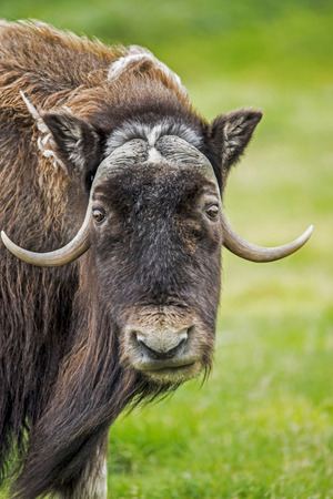 Head shot of a Musk Ox looking at the camera with a green background.