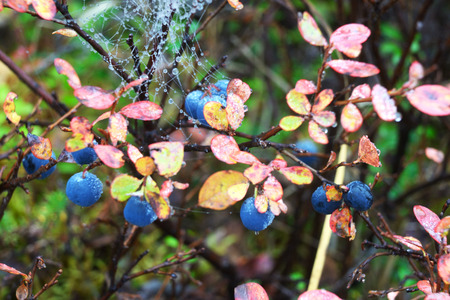 Ripe Blueberry Bushes in Denali National Park.