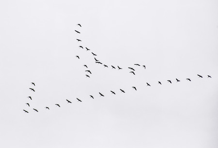 A flock of Sandhill Cranes fly overhead.