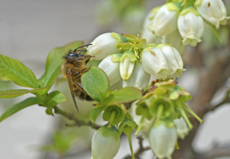 Honeybee feeding on white blueberry blooms.