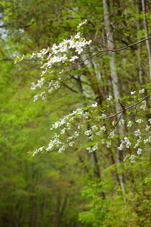Closeup of Dogwood blooms in spring in the Smoky Mountains.