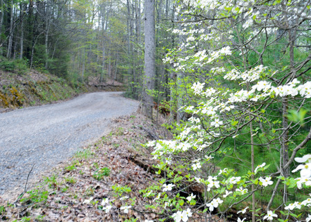 Blooming Dogwood Trees along an old mountain road in the Smokies.