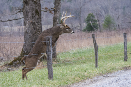 White Tailed Deer Buck jumping a fence in Cades Cove. Imagens