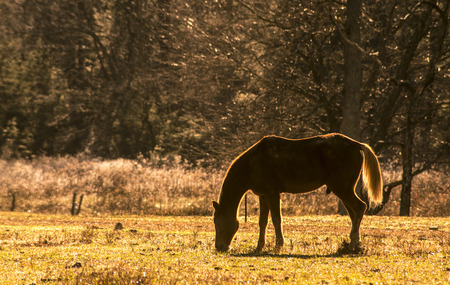 Backlit by the sun, a horse grazes on golden grasses.
