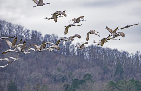 A flock of Sandhill Cranes fly in a pattern.