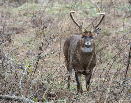 During the rutting season, a White Tailed Deer looks at the camera.