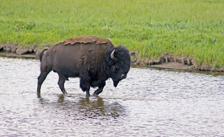 A large Bison crosses a creek in Yellowstone National Park.