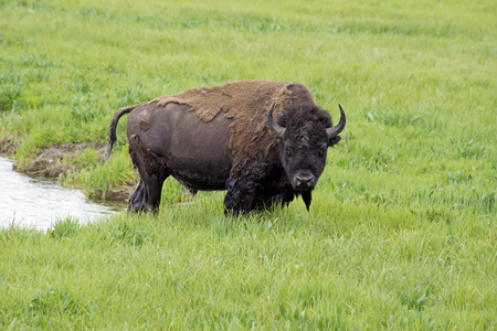A large Bison stands in green grass after crossing a creek.