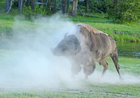A Bison rolls his head shedding the dust off his body. Фото со стока