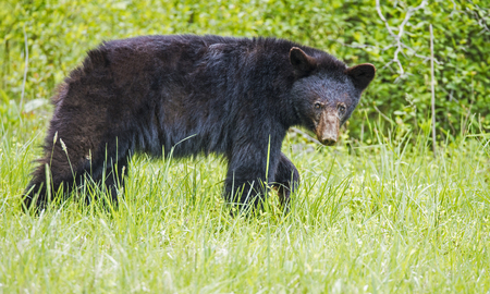 A large Black Bear walking in green grass stares at the camera. Stock Photo