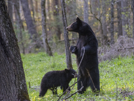 A mother Black Bear stands looking over her cub.