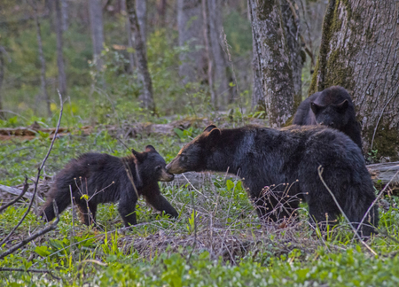 A mother Black Bear checks on one of her cubs. Banco de Imagens