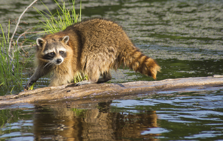 A Raccoon hunting snails on the bottom of a log.