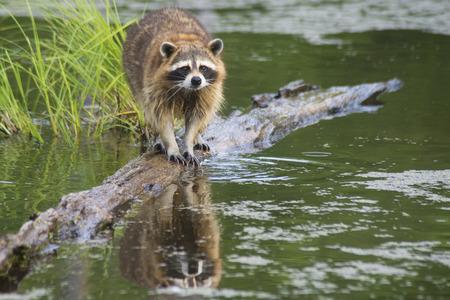 Water reflection of a fishing raccoon. Stock Photo
