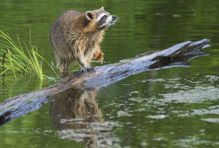 Water reflection of a raccoon fishing from a sunken log. Stock Photo