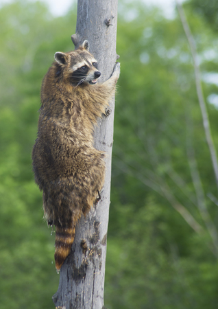 A Raccoon climbing a light pole.