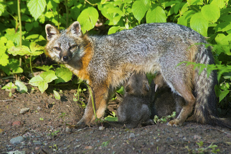 A mother Gray Fox is feeding her kits.