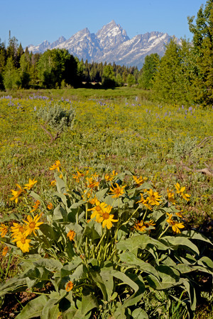 Alpine Sunflowers cluster beneath snow capped mountains.