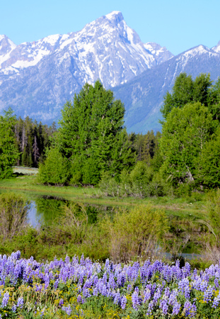 Purple Lupine blooming beneath snow capped mountains. Stock Photo