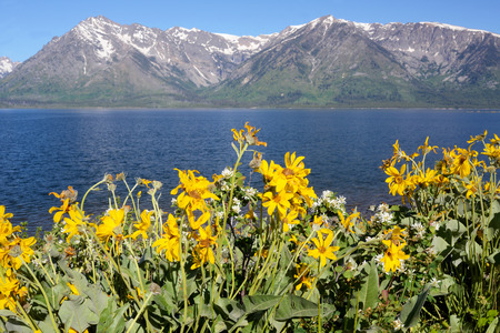 Yellow wildflowers bloom beneath snow capped mountains in Yellowstone.