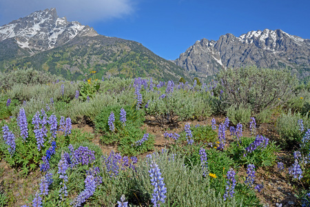 Scenic landscape of blue Lupine and snow capped mountains in Yellowstone. Stock Photo