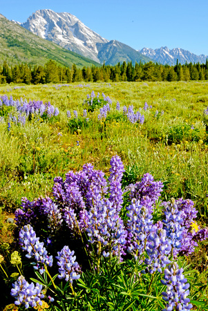 Clusters of purple Lupine bloom in a valley of Yellowstone. Stock Photo