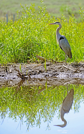 Water reflections of a Great Blue Heron in a clear lake in Yellowstone. Stock Photo