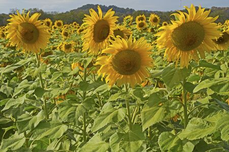 Sunflower blooms stand above the field of flowers.