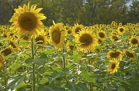 Sunflower heads pop up over a field of plants.