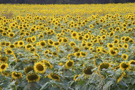 Sunflowers blooming in an open field.