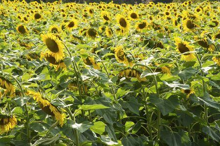 Closeup Sunflowers blooming in an open field.