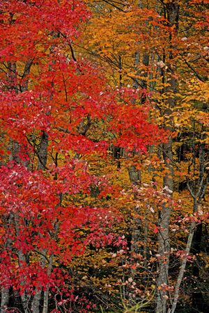 Vertical-colored leaves fill the forest in fall season in the Smokies.