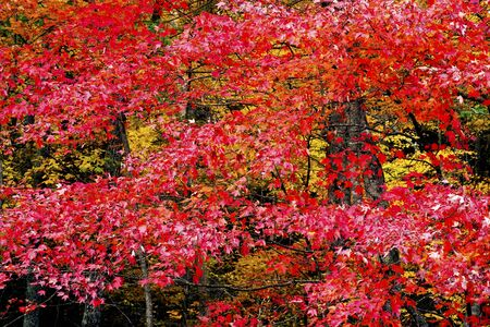 Red leaves cover a forest in the Smokies.